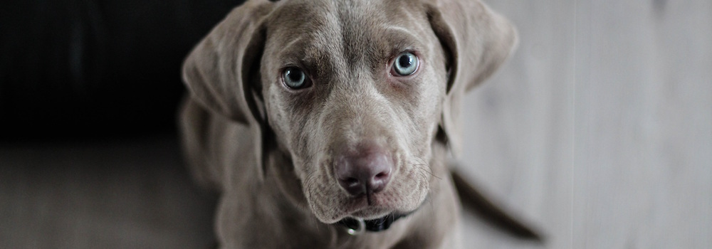 weimaraner-puppy-dog-snout-97082 (2)